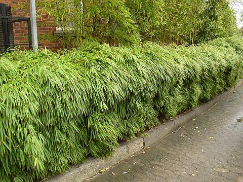 Pěstování bambusu v květináči