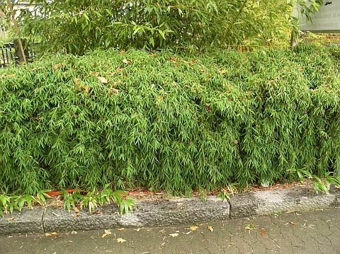 Živý plot bambus