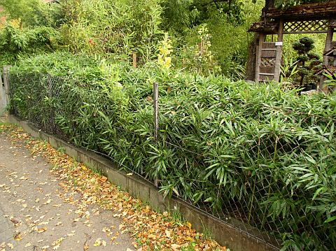 Sazenice bambusu