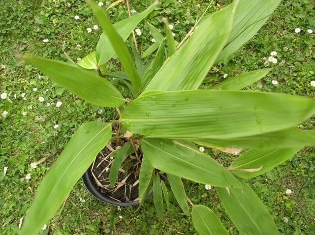 http://bambusy.info/img/druhy/Indocalamus-tessellatus-01.jpg