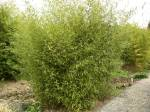 Phyllostachys glauca foto 1