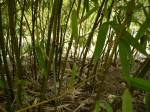 Phyllostachys glauca foto 3