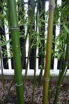 Phyllostachys iridescens foto 2