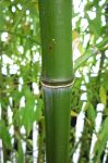 Phyllostachys iridescens foto 6