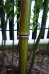 Phyllostachys iridescens foto 7