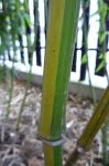 Phyllostachys iridescens foto 8