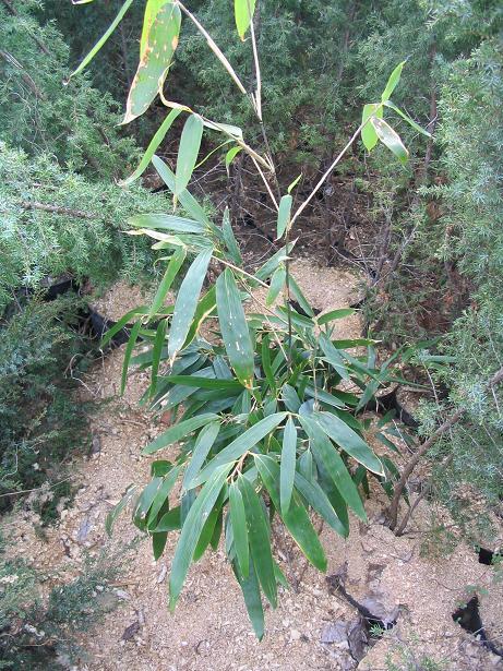 http://bambusy.info/img/uploaded/BASHANIA%20FARGESII%20Szomolanyi-jaro-2006.JPG