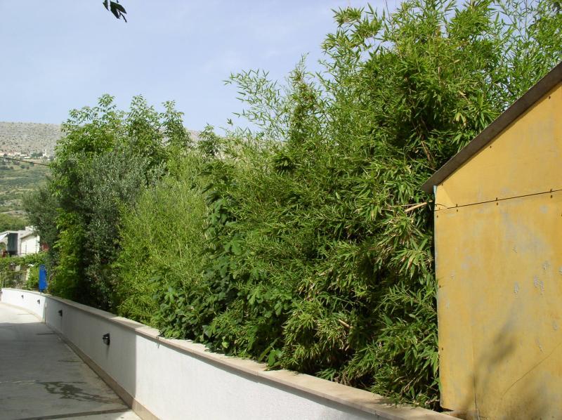 http://bambusy.info/img/uploaded/Chorvatsko-Phyllostachys-aurea-02.jpg