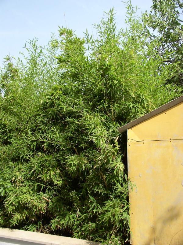 http://bambusy.info/img/uploaded/Chorvatsko-Phyllostachys-aurea-03.jpg