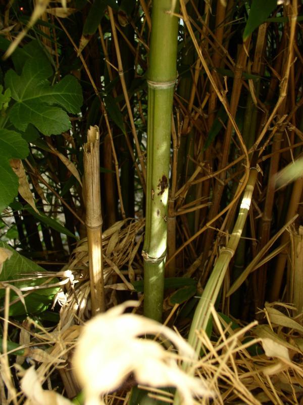 http://bambusy.info/img/uploaded/Chorvatsko-Phyllostachys-aurea-05.jpg