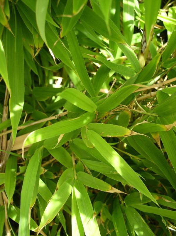 http://bambusy.info/img/uploaded/Chorvatsko-Phyllostachys-aurea-08.jpg