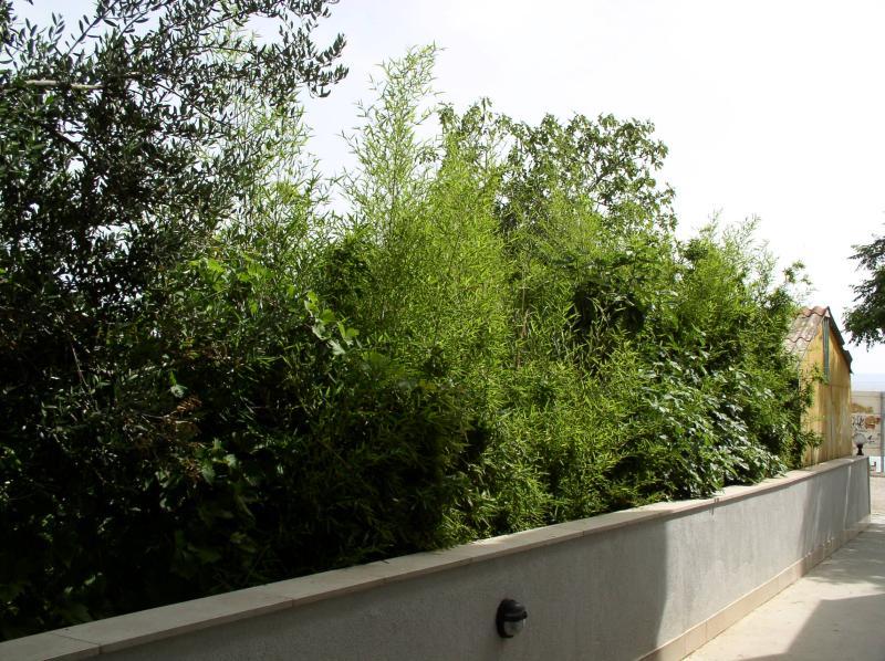 http://bambusy.info/img/uploaded/Chorvatsko-Phyllostachys-aurea-10.jpg