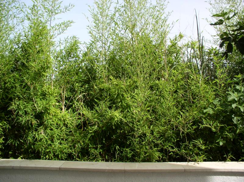 http://bambusy.info/img/uploaded/Chorvatsko-Phyllostachys-aurea-11.jpg