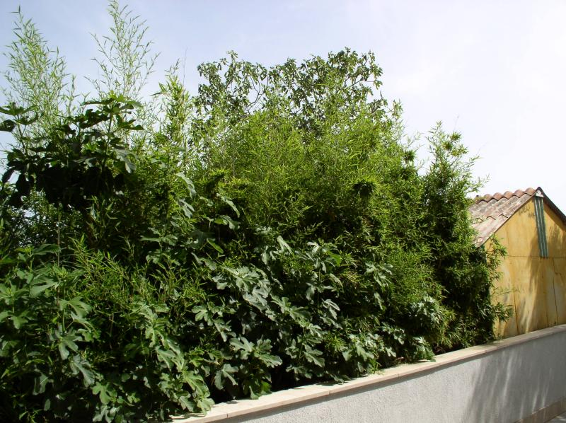 http://bambusy.info/img/uploaded/Chorvatsko-Phyllostachys-aurea-12.jpg