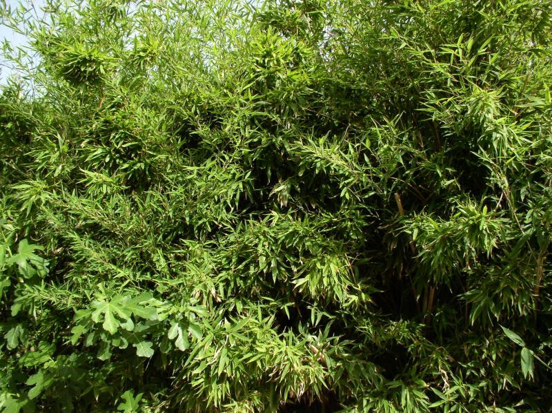 http://bambusy.info/img/uploaded/Chorvatsko-Phyllostachys-aurea-13.jpg