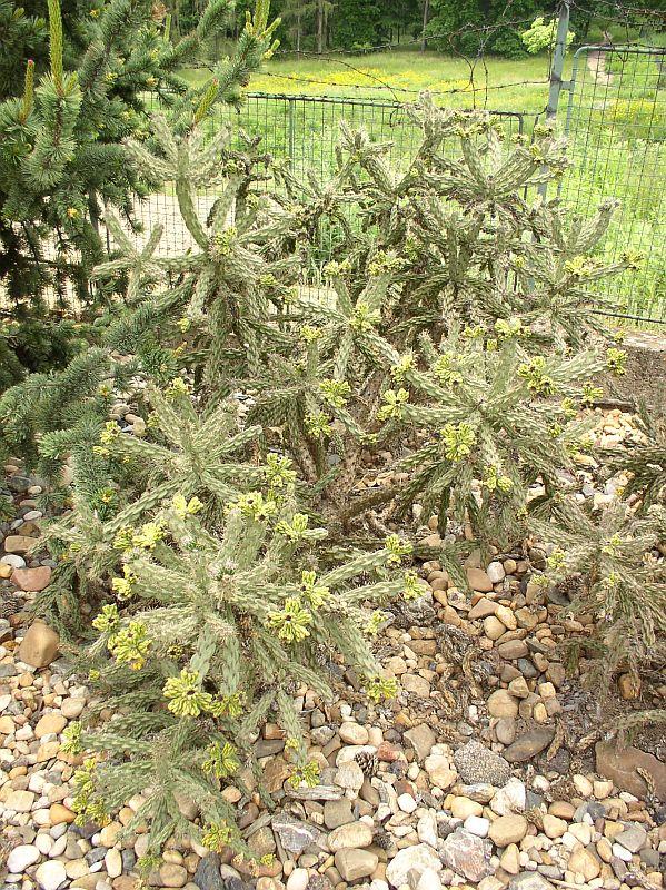 http://bambusy.info/img/uploaded/Cylindroopuntia-imbricata-Troja-02.jpg