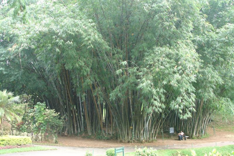 http://bambusy.info/img/uploaded/Dendrocalamus-giganteus-Kandy-01.jpg