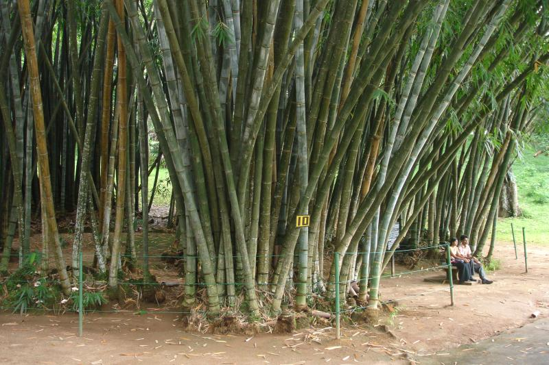 http://bambusy.info/img/uploaded/Dendrocalamus-giganteus-Kandy-02.jpg