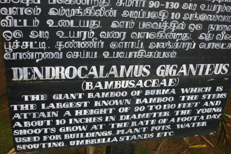 http://bambusy.info/img/uploaded/Dendrocalamus-giganteus-Kandy-03.jpg