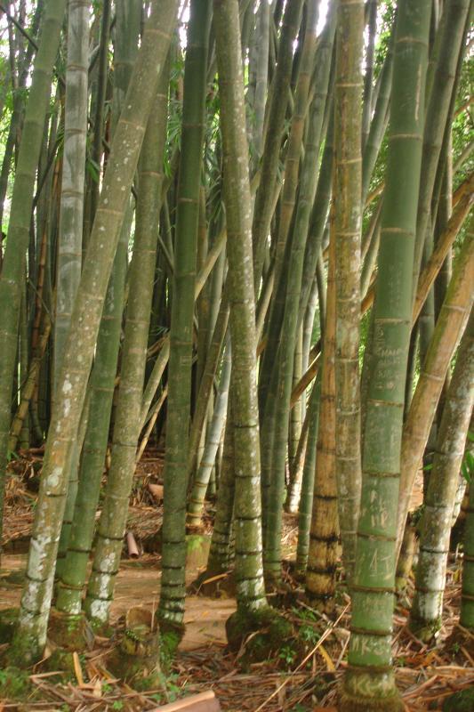 http://bambusy.info/img/uploaded/Dendrocalamus-giganteus-Kandy-04.jpg