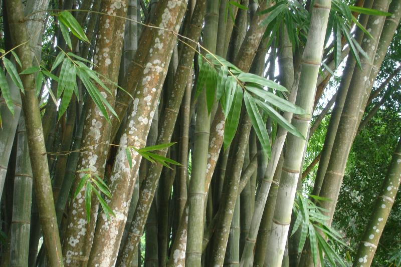 http://bambusy.info/img/uploaded/Dendrocalamus-giganteus-Kandy-05.jpg