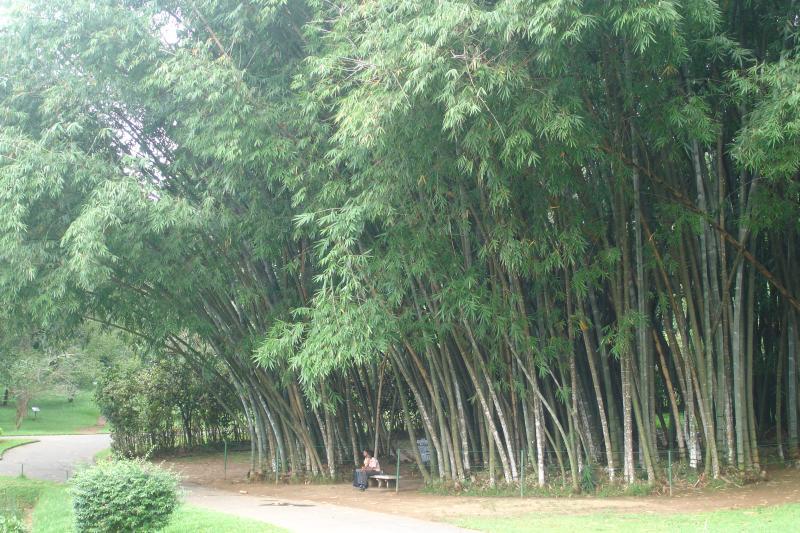 http://bambusy.info/img/uploaded/Dendrocalamus-giganteus-Kandy-06.jpg