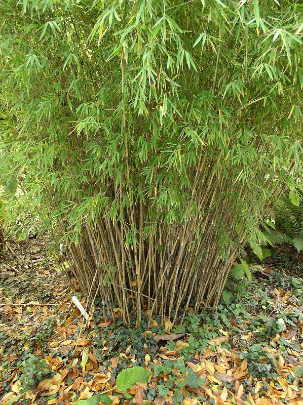 http://bambusy.info/img/uploaded/Fargesia-nitida-Nymphenburg-01.jpg