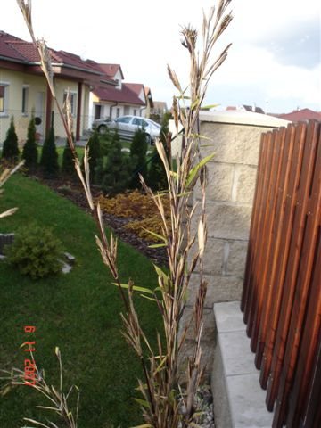 http://bambusy.info/img/uploaded/Fargesia-nitida-v-kvetu-Martina-03.JPG