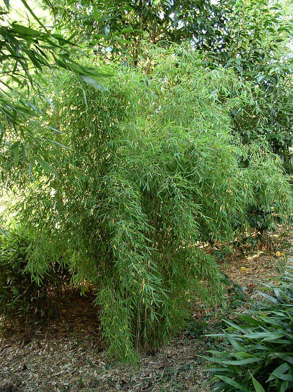 http://bambusy.info/img/uploaded/Fargesia-sp.-Jiuzhaigou-06.jpg