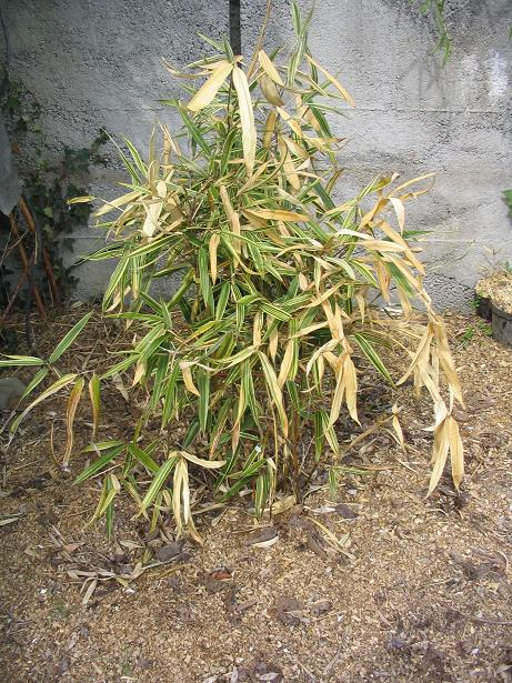 http://bambusy.info/img/uploaded/HIBANOBAMBUSA%20TRANQUILANS%20SHIROSHIMA%20Szomolanyi-jaro-2006.JPG