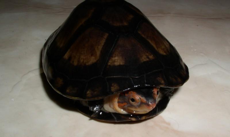http://bambusy.info/img/uploaded/Kinosternon-cruentatum-mlade-06.jpg