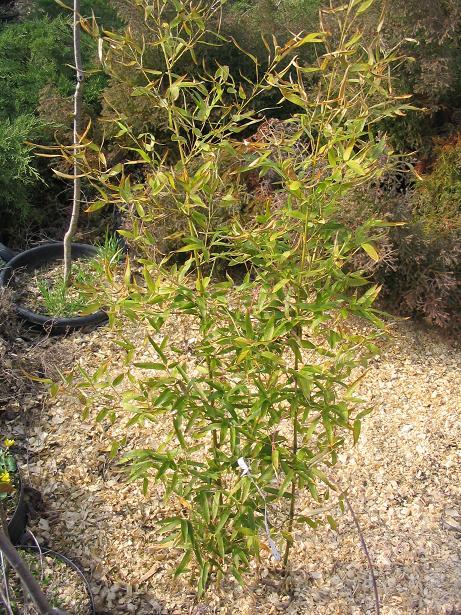 http://bambusy.info/img/uploaded/PH.ATROVAGINATA%20Szomolanyi-jaro-2006.JPG