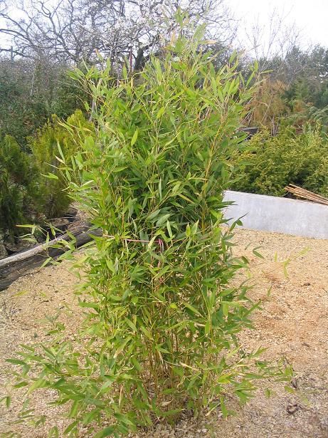 http://bambusy.info/img/uploaded/PH.BISSETII%20Szomolanyi-jaro-2006.JPG
