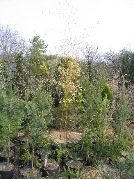 http://bambusy.info/img/uploaded/PH.IRIDESCENS%20Szomolanyi-jaro-2006.JPG