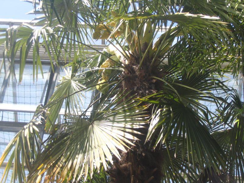 http://bambusy.info/img/uploaded/Palmy-Kolin-nad-Rynem-jarome-08.jpg