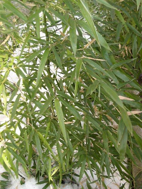 http://bambusy.info/img/uploaded/Phyllostachys-Shanghai-3-leden-2006-02.jpg
