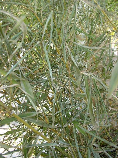 http://bambusy.info/img/uploaded/Phyllostachys-aurea-Koi-leden-2006-01.jpg