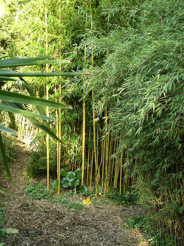 http://bambusy.info/img/uploaded/Phyllostachys-aureosulcata-aureocaulis-09.jpg