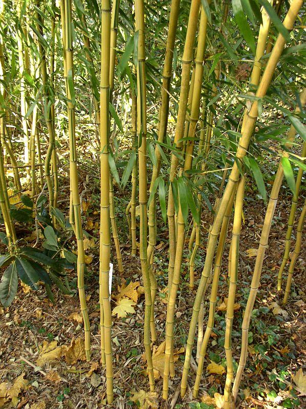 http://bambusy.info/img/uploaded/Phyllostachys-aureosulcata-spectabilis-03.jpg