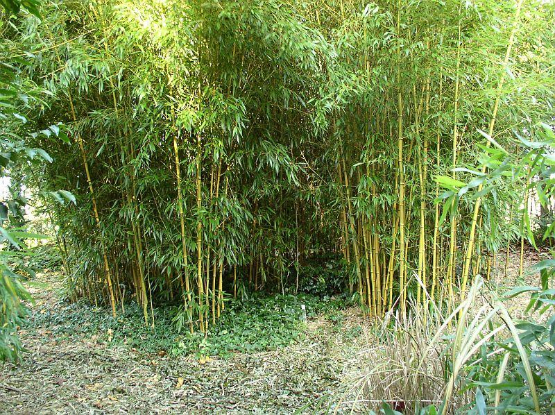 http://bambusy.info/img/uploaded/Phyllostachys-aureosulcata-spectabilis-08.jpg
