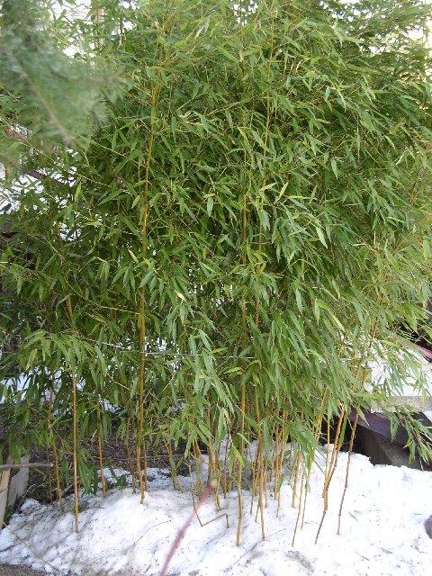 http://bambusy.info/img/uploaded/Phyllostachys-aureosulcata-spectabilis-leden-2006-01.jpg