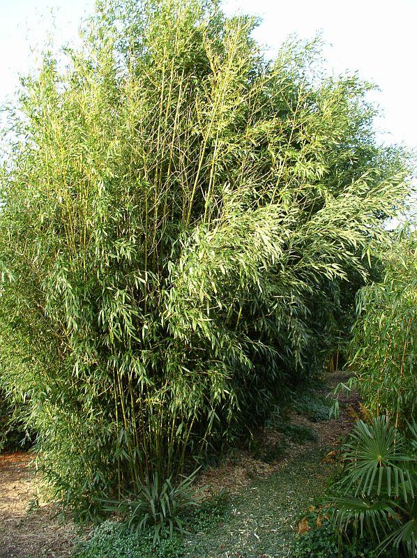 http://bambusy.info/img/uploaded/Phyllostachys-bissetii-03.jpg