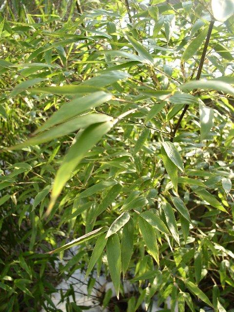 http://bambusy.info/img/uploaded/Phyllostachys-nigra-leden-2006-01.jpg