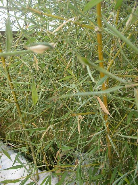 http://bambusy.info/img/uploaded/Phyllostachys-viridis-Sulphurea-leden-2006-01.jpg