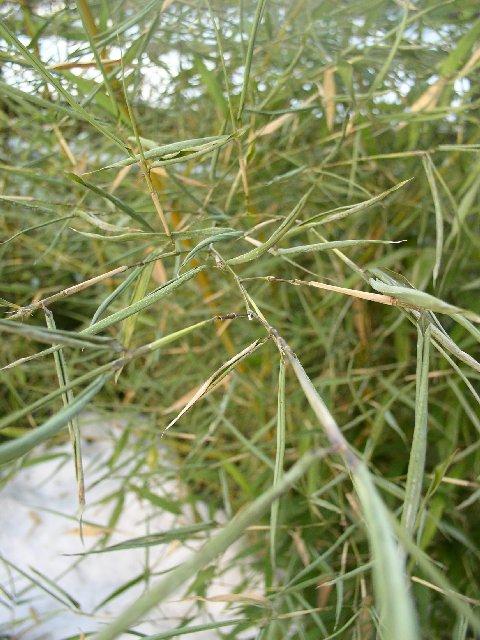 http://bambusy.info/img/uploaded/Phyllostachys-viridis-Sulphurea-leden-2006-02.jpg