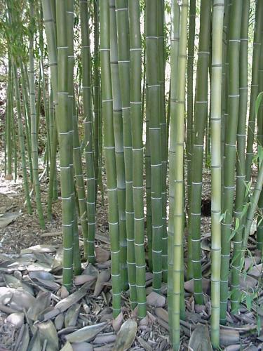 http://bambusy.info/img/uploaded/PhynigraHenon-01-texas.jpg