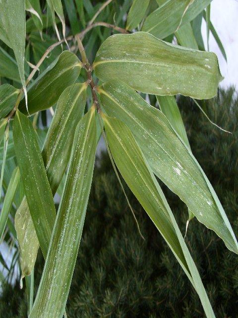 http://bambusy.info/img/uploaded/Pseudosasa-japonica-leden-2006-01.jpg