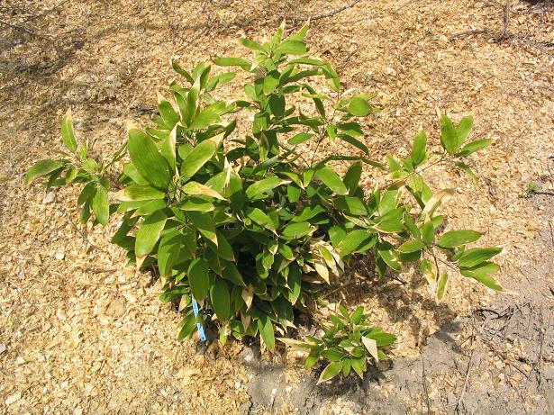 http://bambusy.info/img/uploaded/SHIBATEA%20CUMASASA%20Szomolanyi-jaro-2006.JPG