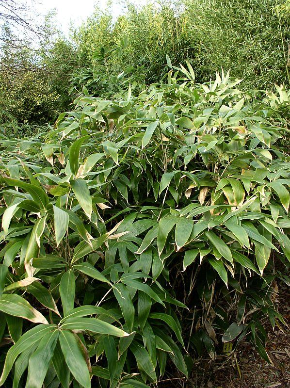 http://bambusy.info/img/uploaded/Sasa-kurilensis-02.jpg