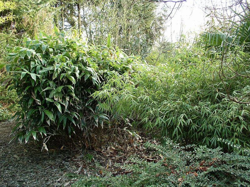 http://bambusy.info/img/uploaded/Sasa-kurilensis-14.jpg
